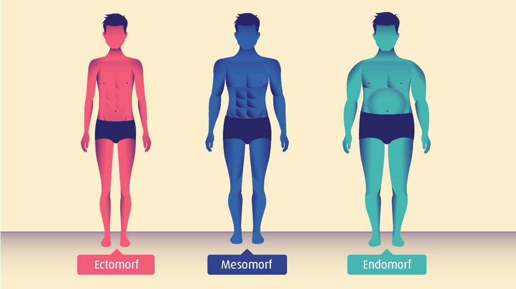 De somatotypes: ectomorf, mesomorf en endomorf